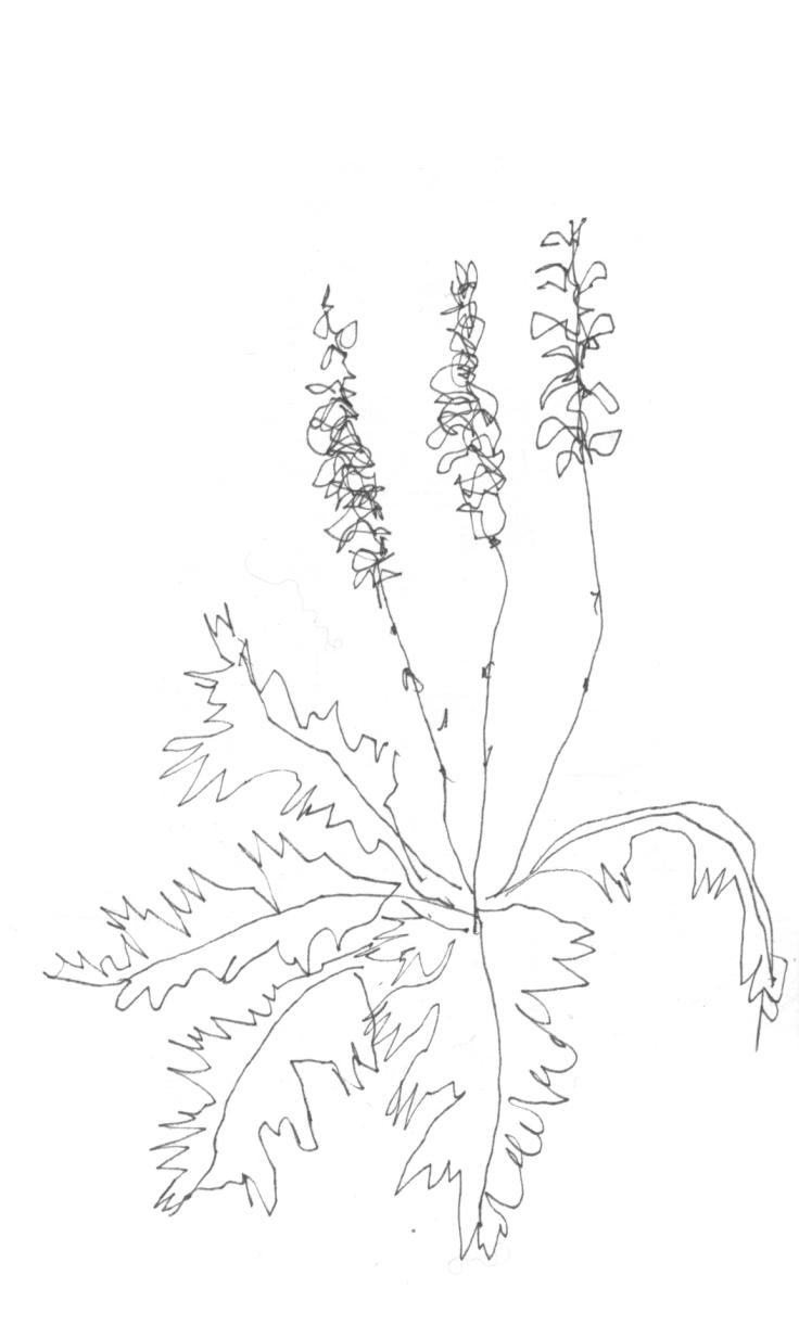 Acanthus-dessin